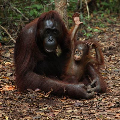 Orangutan with a baby