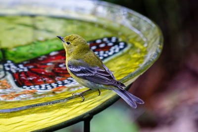 Garden bird on a bird bath